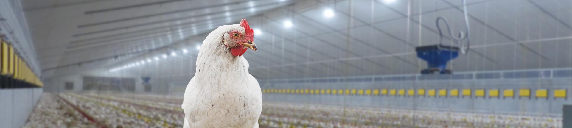 Stallbeleuchtung Geflügel Stalverlichting kippen d'éclairage Volaille barn lighting broilers